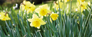 Daffodils in the Cotford Hotel garden