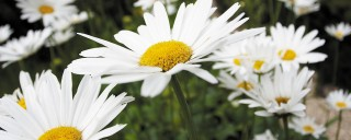 Daisies in the Cotford Hotel garden